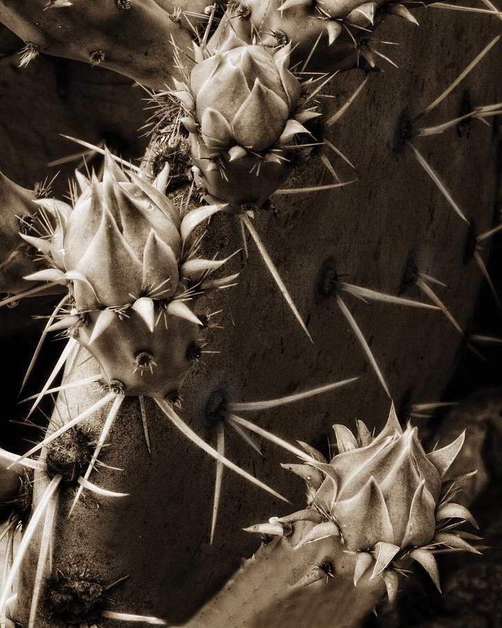 Cactus Photograph - Prickly Pear Buds by Bob Coates