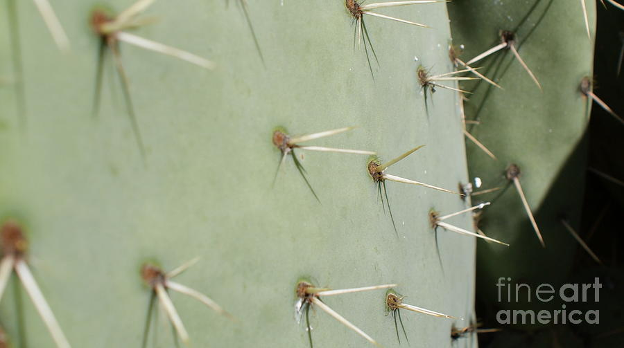 Prickly Pear Cactus Close Up Photograph