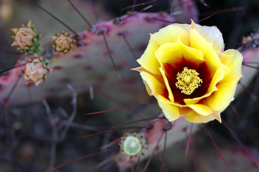 Texas Photograph - Prickly Pear by Eric Foltz