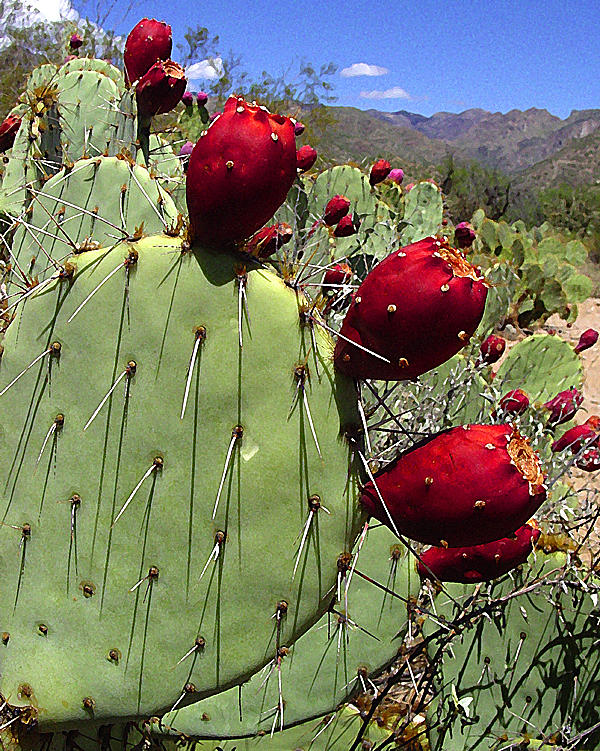 Cactus Photograph - Prickly Pear Fruit by Richard Eller