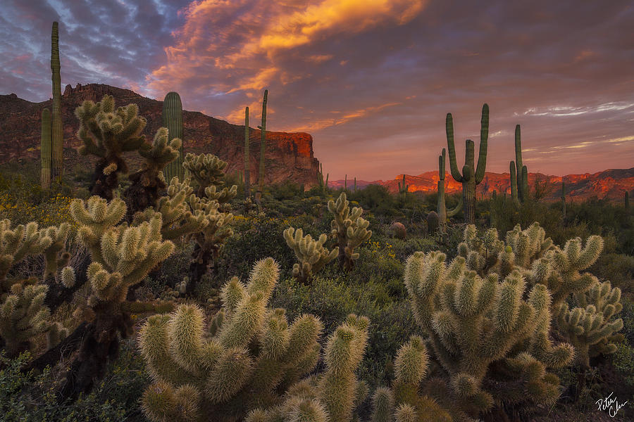 Superstition Mountains Photograph - Prickly Pink Peralta by Peter Coskun
