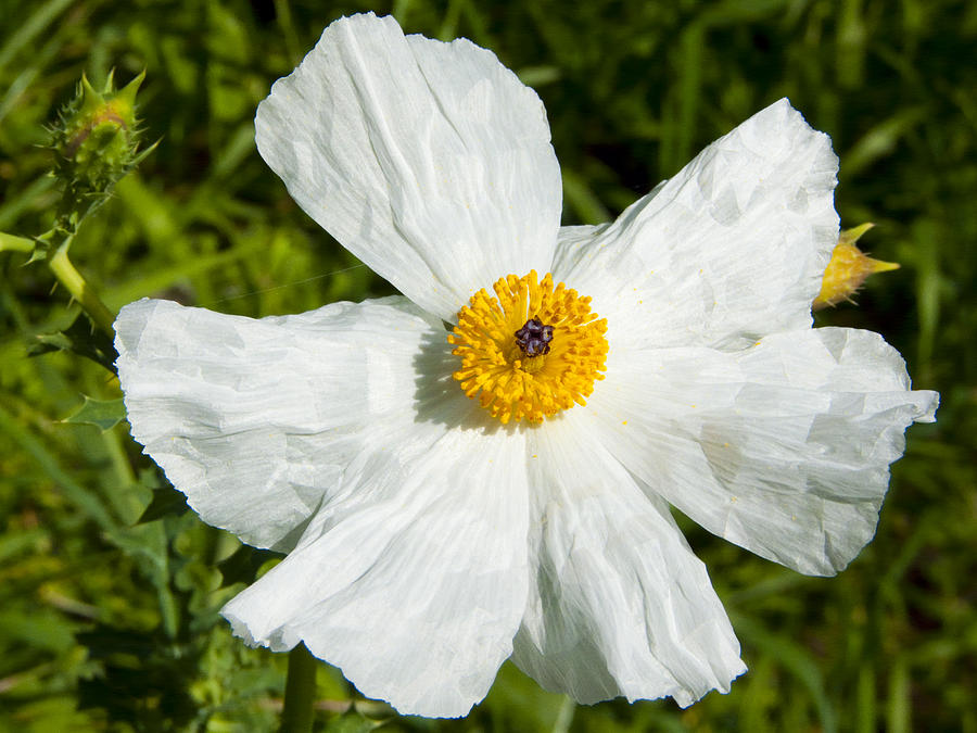 Mckinney Roughs Photograph - Prickly Poppy by Mark Weaver