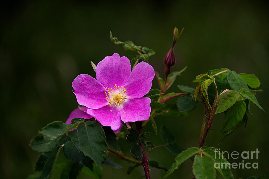 Prickly Wild Rose - Rosa Acicularis by Lorenzo Cassina