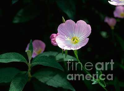 Primrose Photograph - Primrose by Dennis Hammer