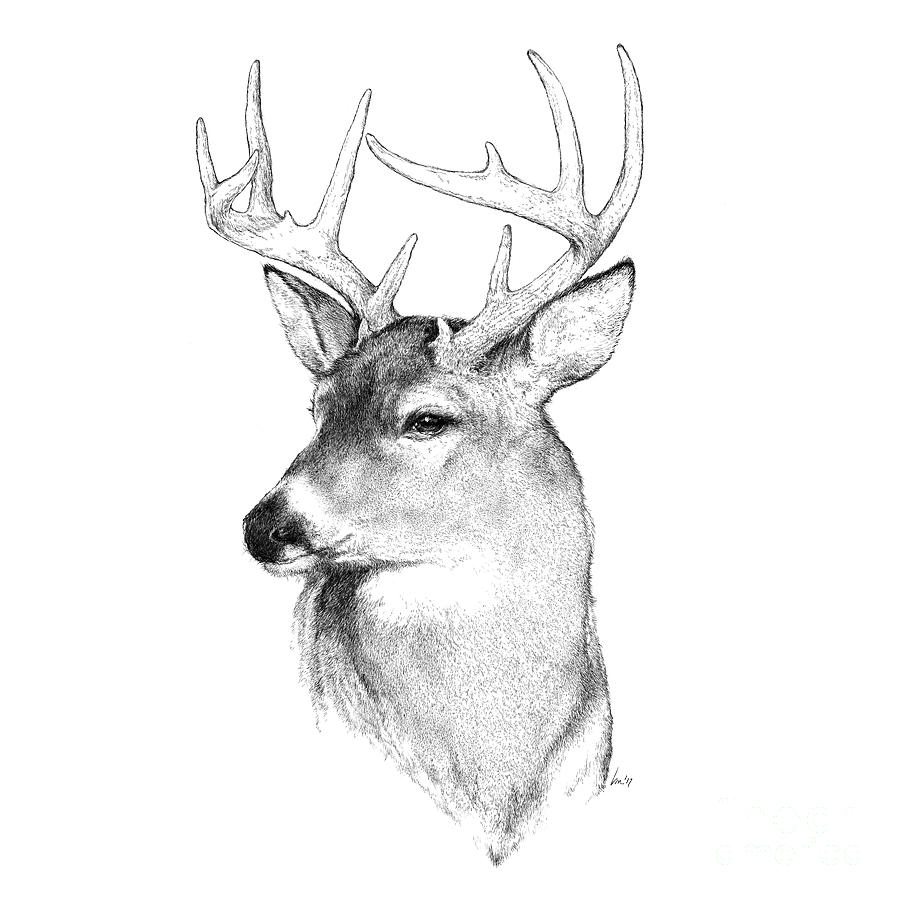 Buck Drawing - Prince by Laurie Musser