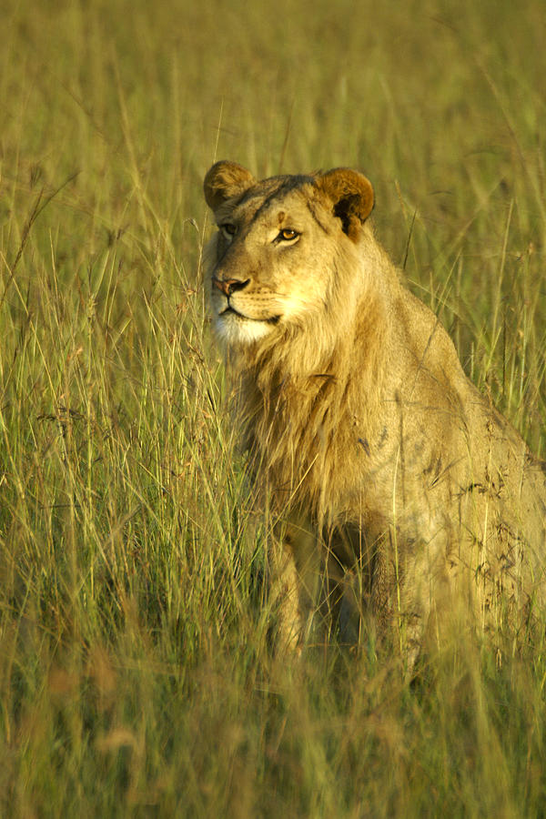 Africa Photograph - Princely Lion by Michele Burgess