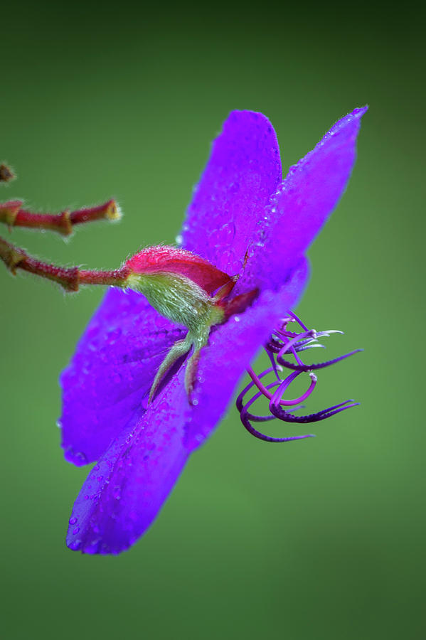 Princess flower, Nuwara Eliya, 2012 by Hitendra SINKAR