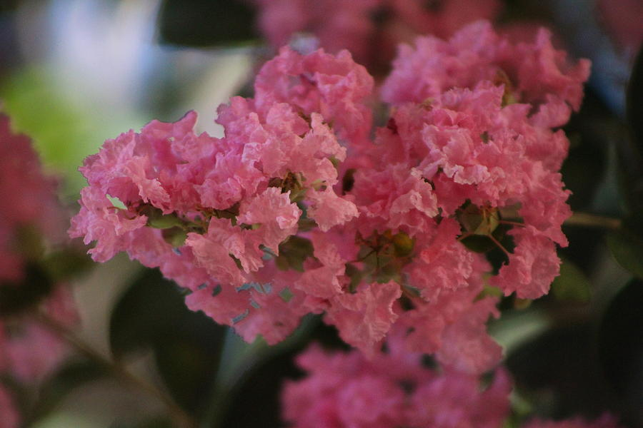 Pastel Pink Photograph - Prism Pink Flowering Crepe Myrtle  by Colleen Cornelius