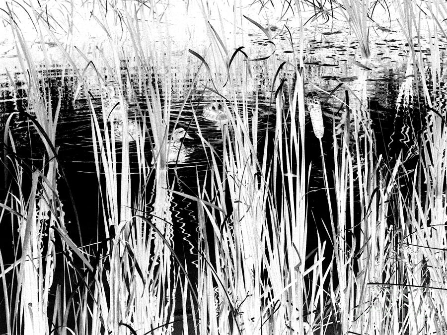 Black Ducks Digital Art - Private Duck Swimming Hole 2 In Black And White by Elizabeth Ann  Roy