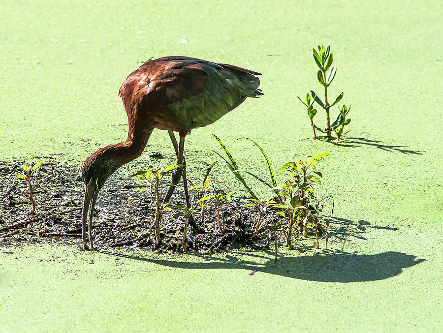 Glossy Ibis Photograph - Probing Mission by Norman Johnson