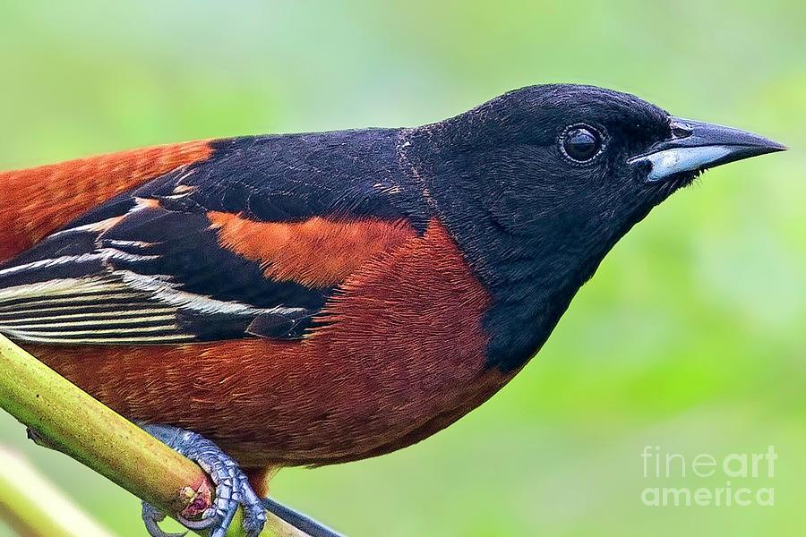Profile In Orange And Black Photograph