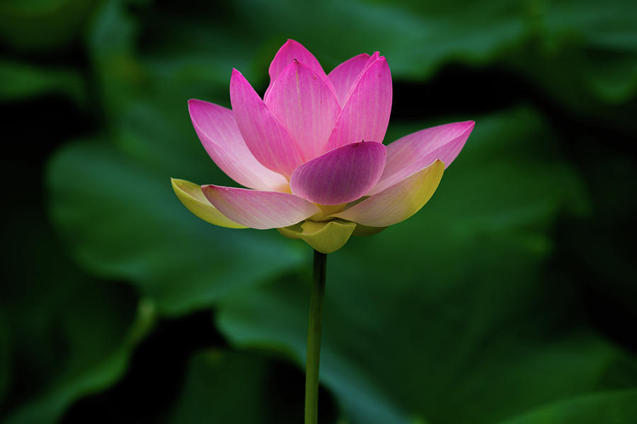 Profile of a Lotus Lily by Dennis Dame