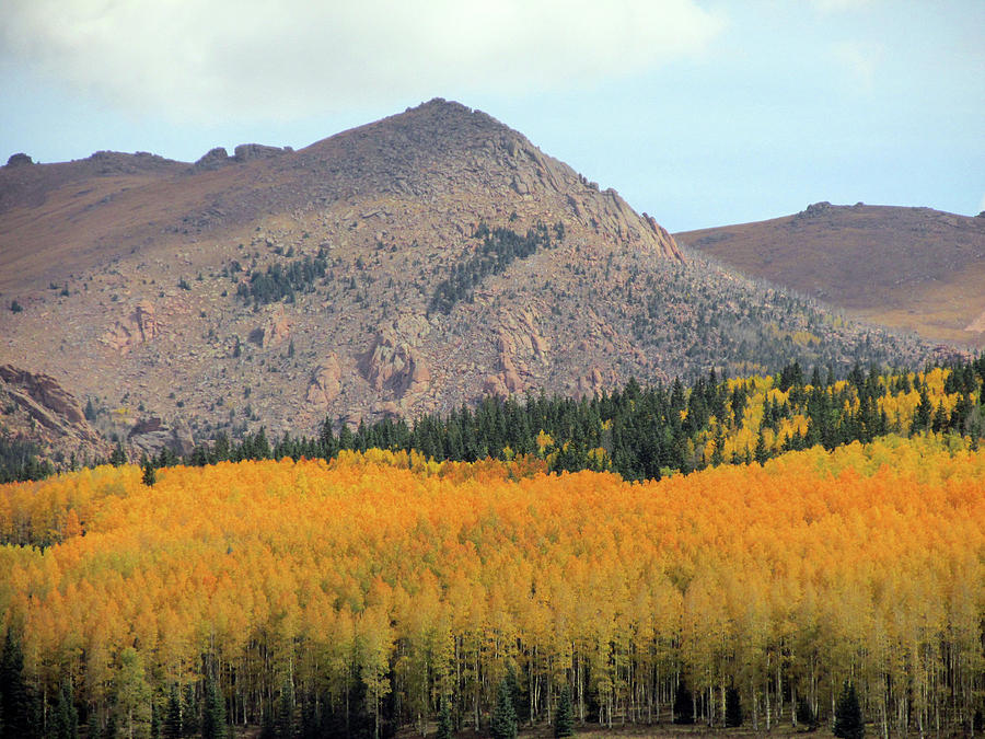 Profusion of Golden and Orange Aspens by Julia L Wright