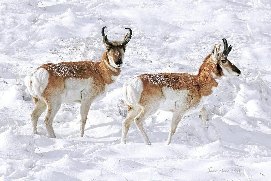 Pronghorn Antelope Bucks In The Snow