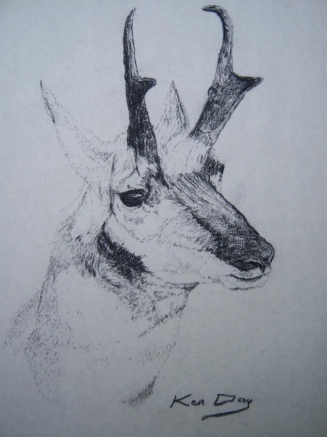 Pronghorn Antelope Drawing - Pronghorn Antelope by Ken Day