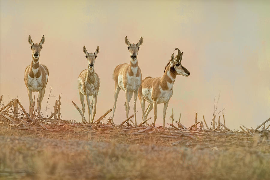 Pronghorn Close Up by Vicki Stansbury