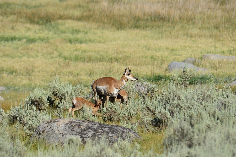 Pronghorn Photograph - Pronghorn Doe With Her Twins by Yeates Photography