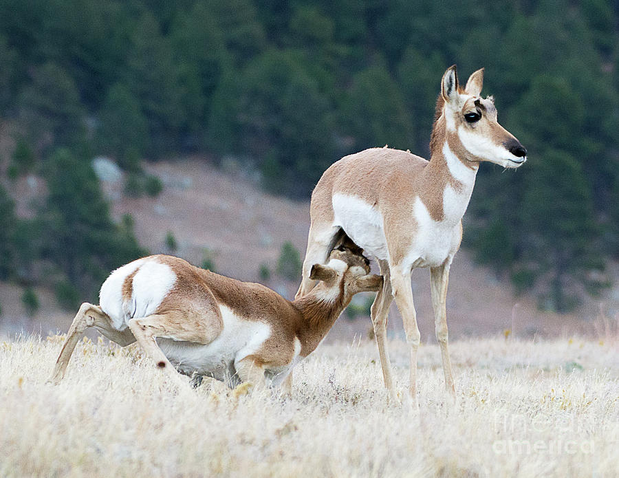 Mammal Photograph - Pronghorn Feeding by Dennis Hammer