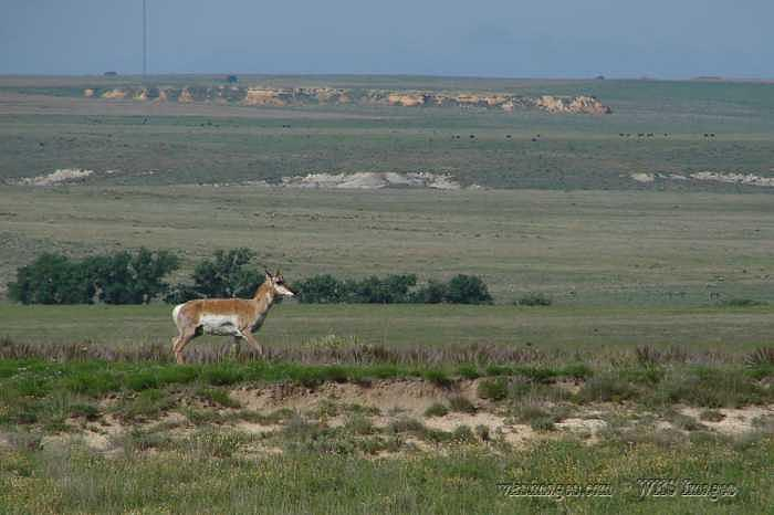 Pronghorn Antelope Photograph - Pronghorn Near Monument Rocks In Western Kansas by Stan Hutchins