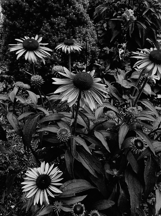 Cone Flowers Photograph - Prosperity by Frank J Casella