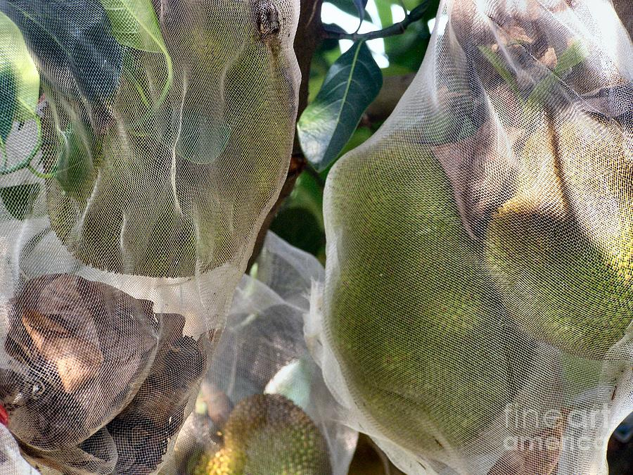 Durian Photograph - Protect Your Durian by Kathy Daxon