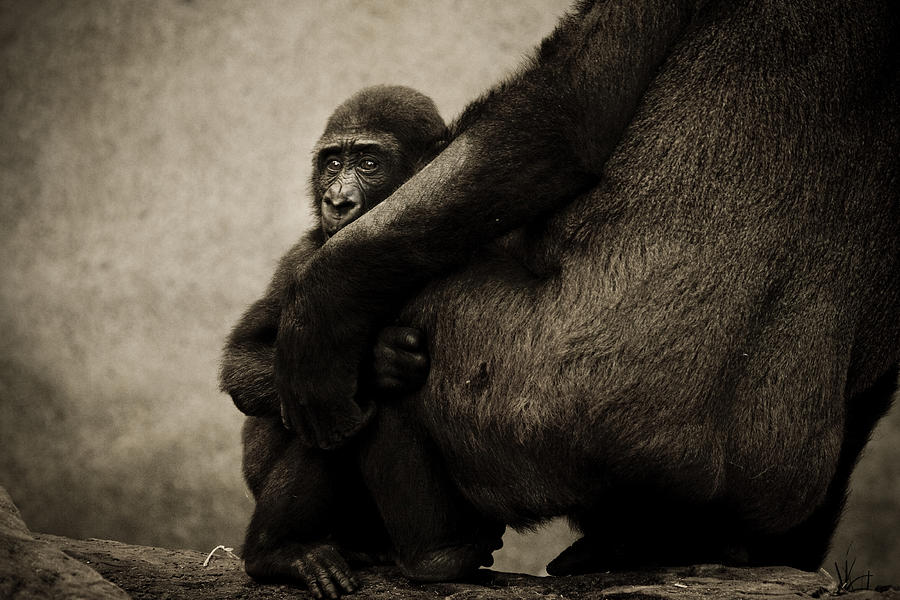 Gorilla Photograph - Protection by Animus  Photography