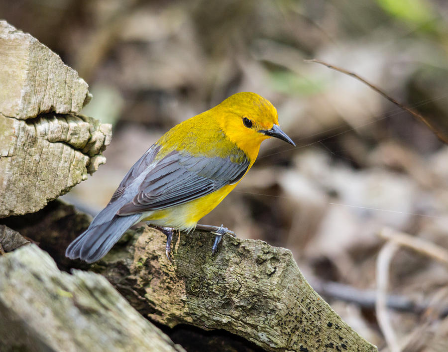 Bird Photograph - Prothonotary Warbler by Kimberly Kotzian