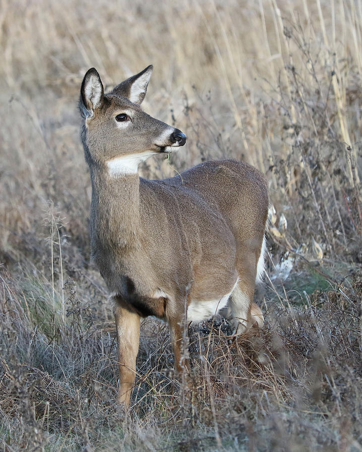 White-tailed Deer Photograph - Proud by Doris Potter