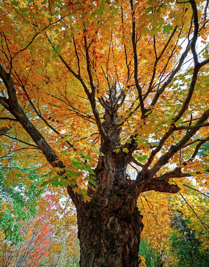 Tree Photograph - Proud Maine Tree In The Fall by Richard Hinds