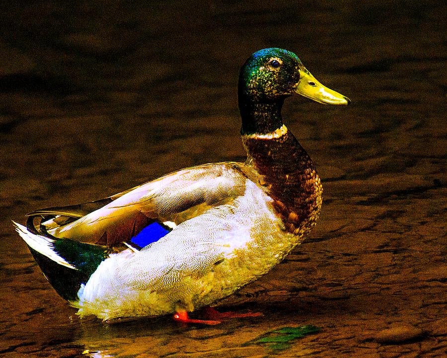 Duck Photograph - Proud Mallard by Jeff Kurtz