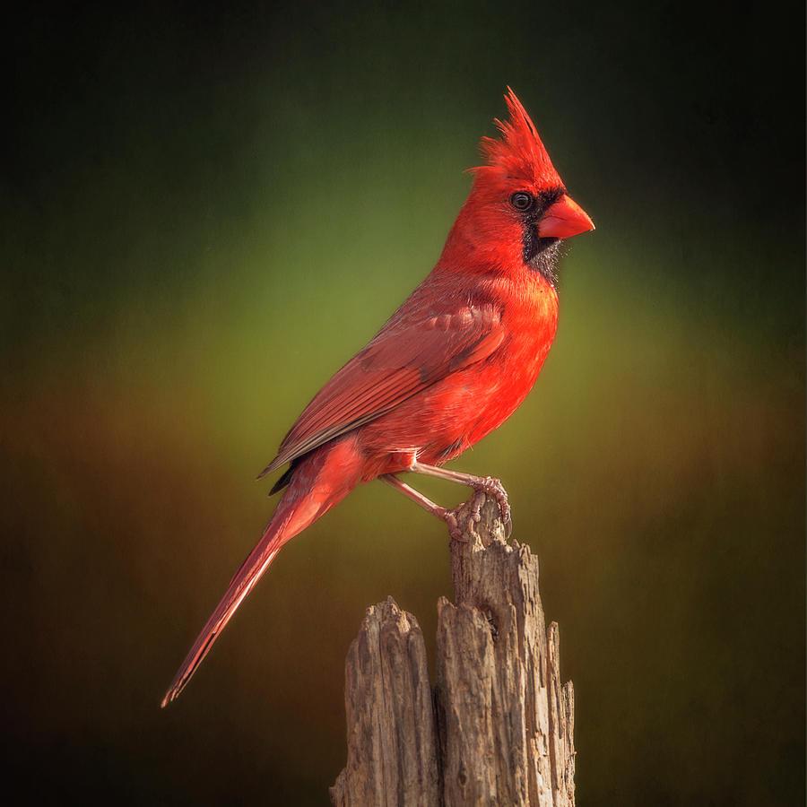 Proud Mr. Redbird by Bill Tiepelman