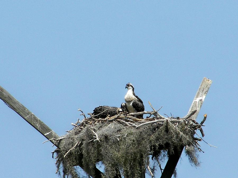 Osprey Photograph - Proud Osprey Parents by Charles Peck