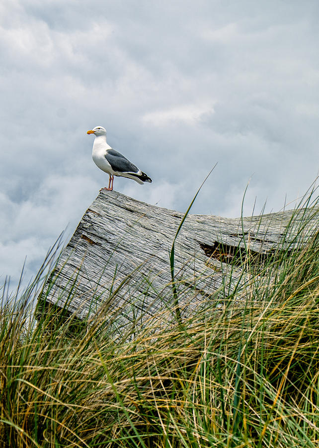 Coastal Photograph - Proud Seagull by Dick Wood