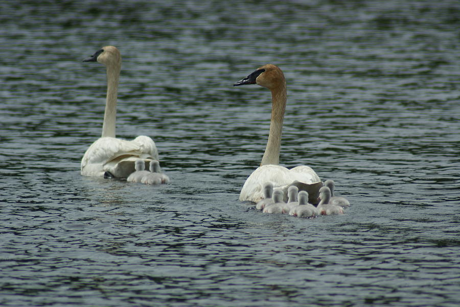Swan Photograph - Proud Trumpeter Family by Ron Read