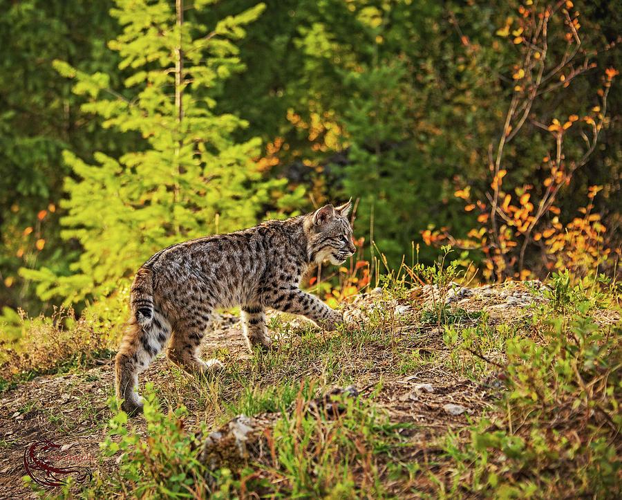 Bobcat Photograph - Prowling bobcat by Roy Nierdieck