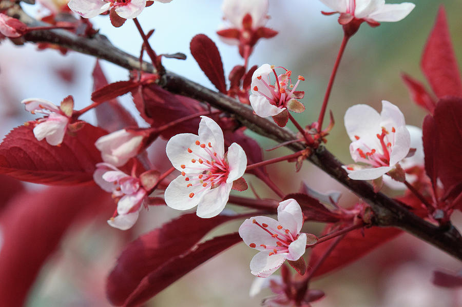 Bloom Photograph - Prunus Cistena by Rodger Werner