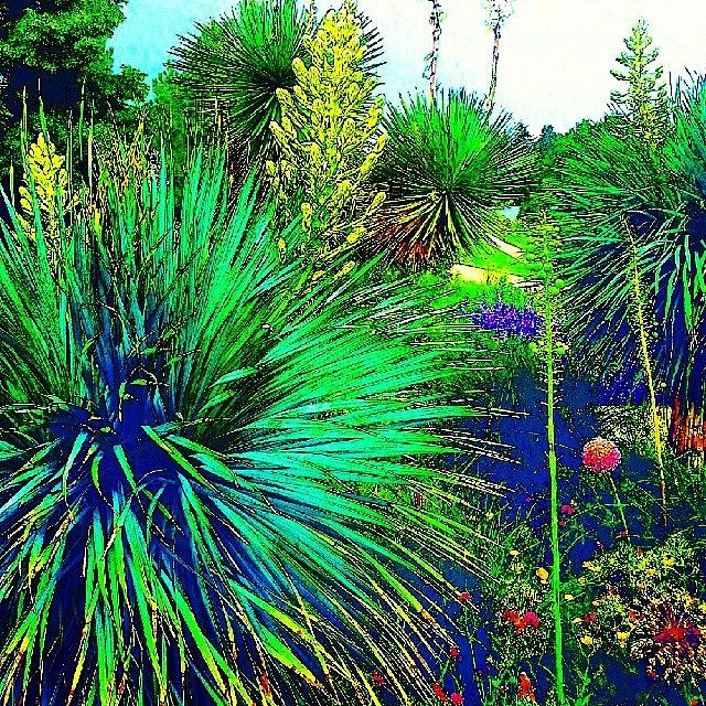 Summer Photograph - Psychedelic Yuccas. #plant #yucca by Austin Tuxedo Cat