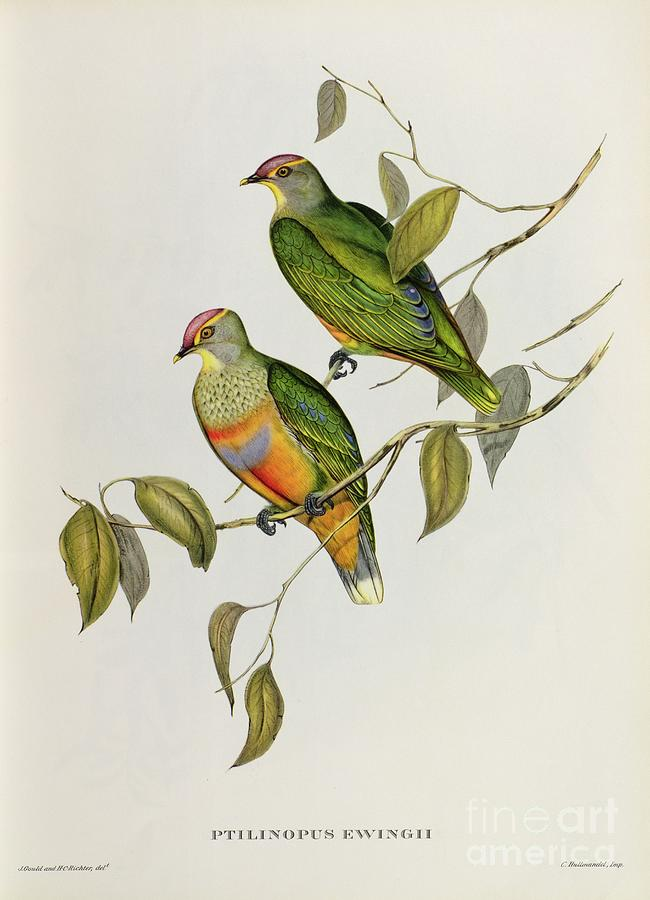 Birds Painting - Ptilinopus Ewingii by John Gould
