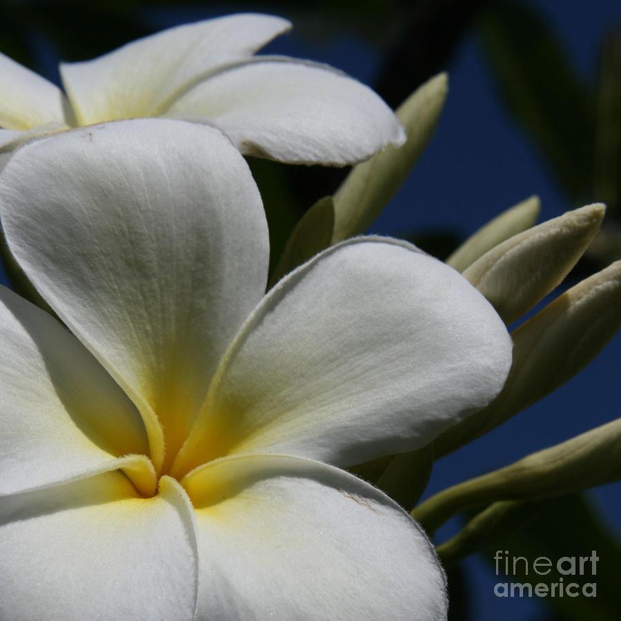 Aloha Photograph - Pua Lena Pua Lei Aloha Tropical Plumeria Maui Hawaii by Sharon Mau