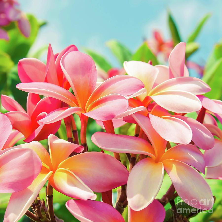 Plumeria Photograph - Pua Melia Ke Aloha Maui by Sharon Mau