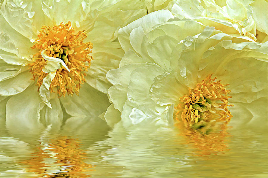 Puddle Of Peonies Photograph