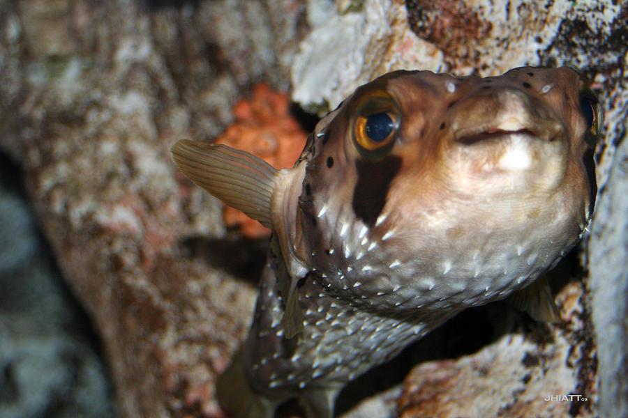 Puffer Fish Digital Art - Puffer by Justin Hiatt