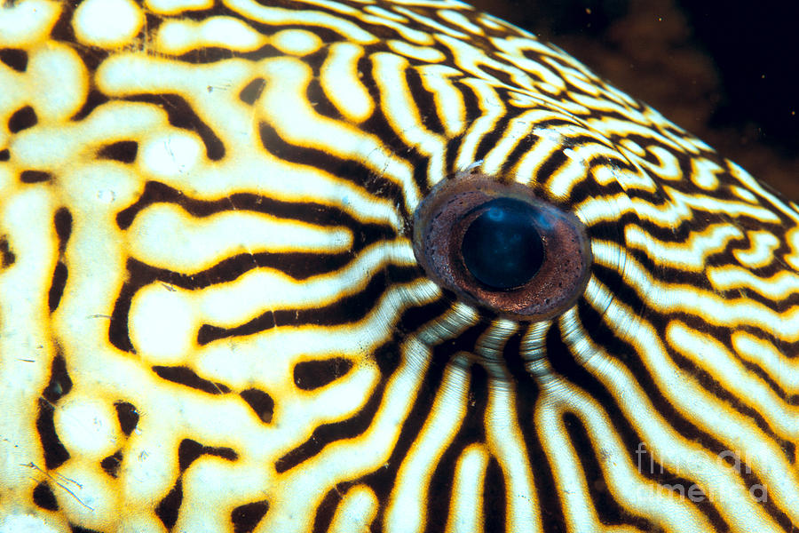 Colorful Photograph - Pufferfish by Dave Fleetham - Printscapes