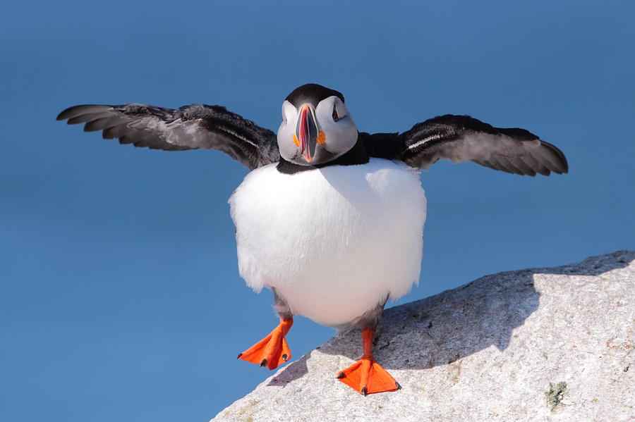Puffin Photograph - Puffin Dance by Bruce J Robinson