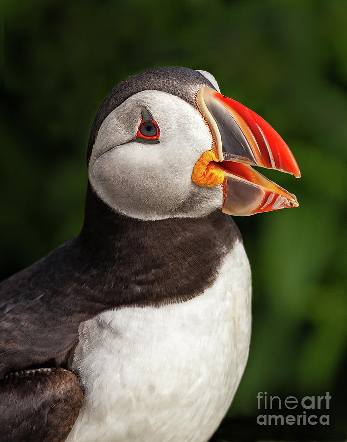 Wildlife Photograph - Puffin Head by Nicolaas Honig