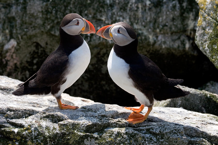 Puffin Photograph - Puffin Love by Brent L Ander