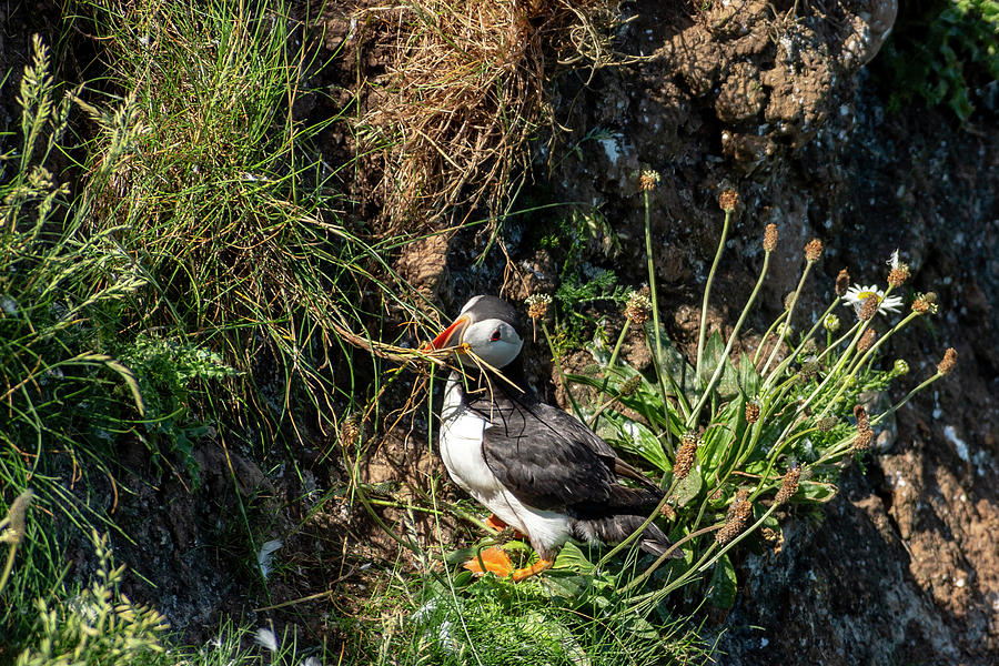 Puffin on cliff edge by Cliff Norton