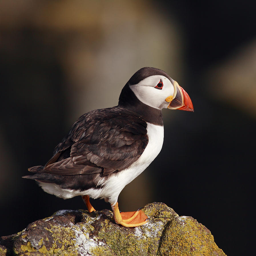 Puffin Photograph - Puffin On Rock by Grant Glendinning