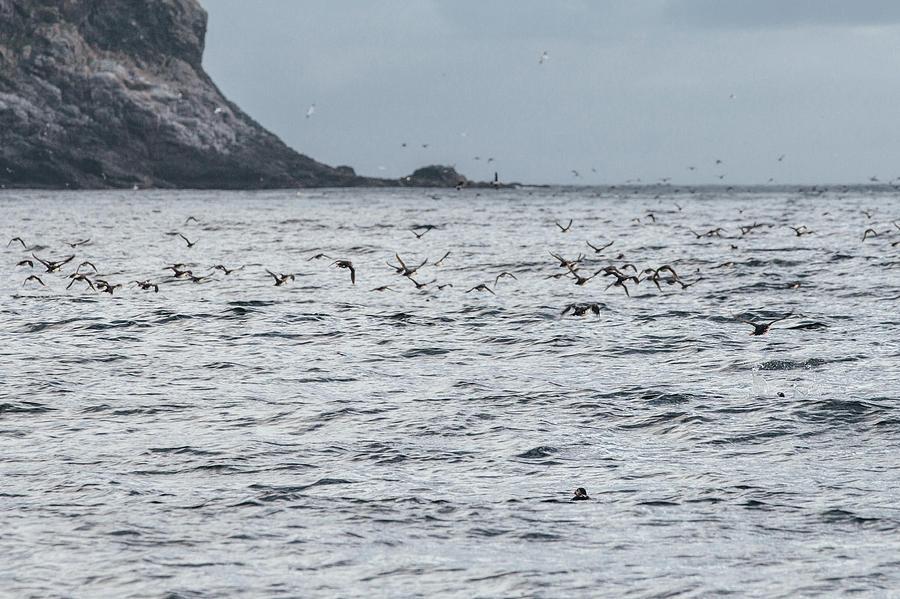Puffins at Runde Bird Island by Aldona Pivoriene