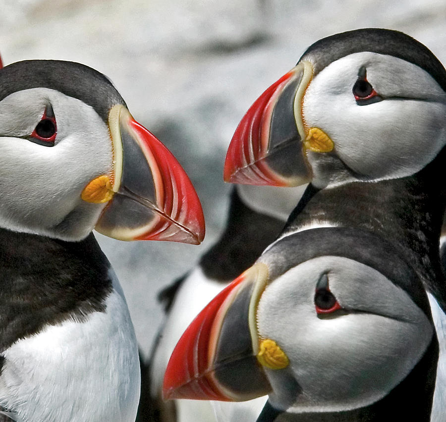 Puffins closeup by Ralph Fahringer